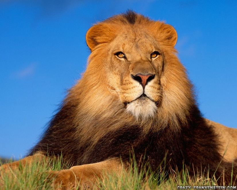Male Lion Wallpapers 10