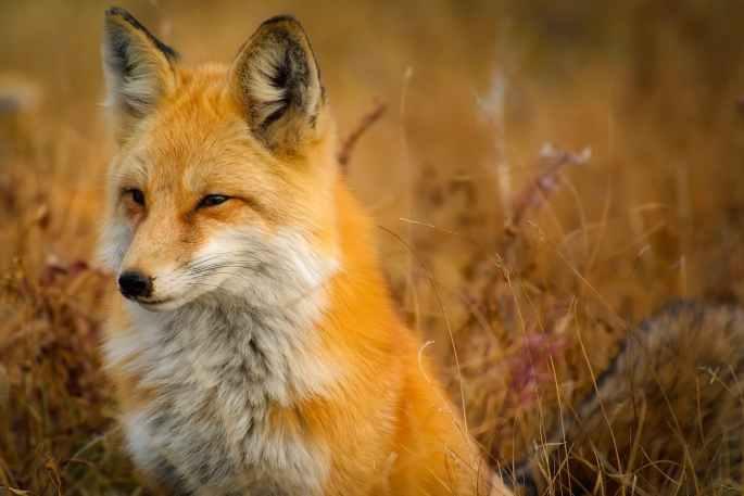 close up of fox on grass